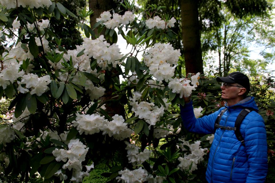 Ароматные цветы R. Loderi King George. Парк рододендронов Тёрринг, Дания