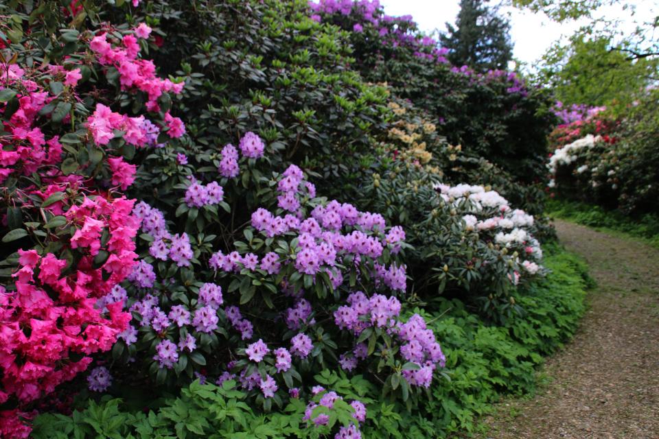 Роскошноцветущие кусты рододендронов, г. Тёрринг/ Tørring, Дания