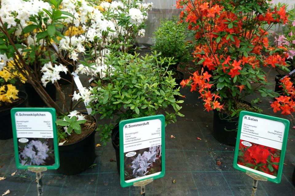 """Азалии """"Schneeköpfchen"""", """"Sommerduft"""" и """"Satan"""" в питомнике Rhododendron-Haven"""