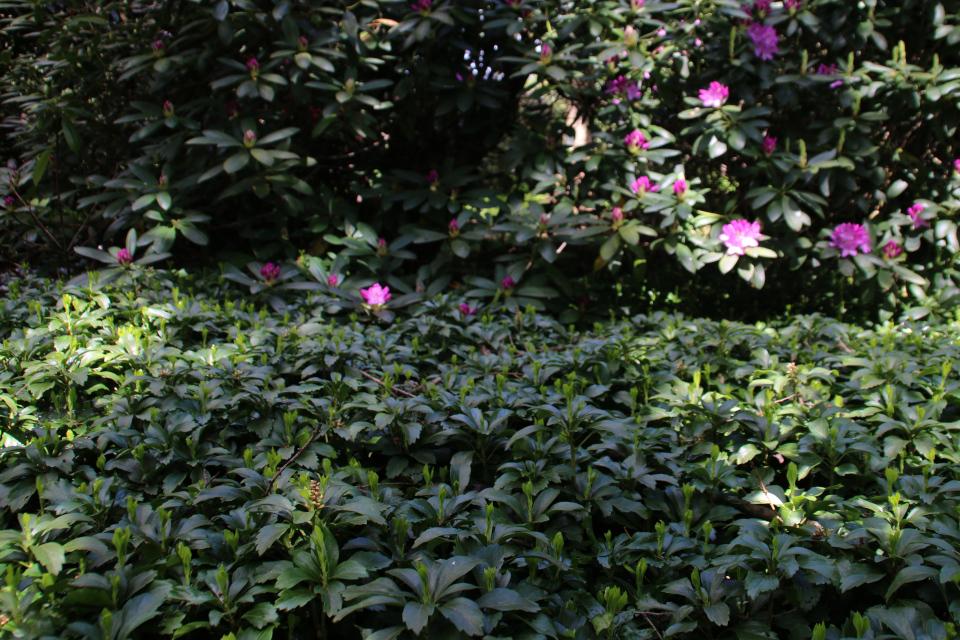 Пахизандра верхушечная (Pachysandra terminalis). Rhododendron-Haven