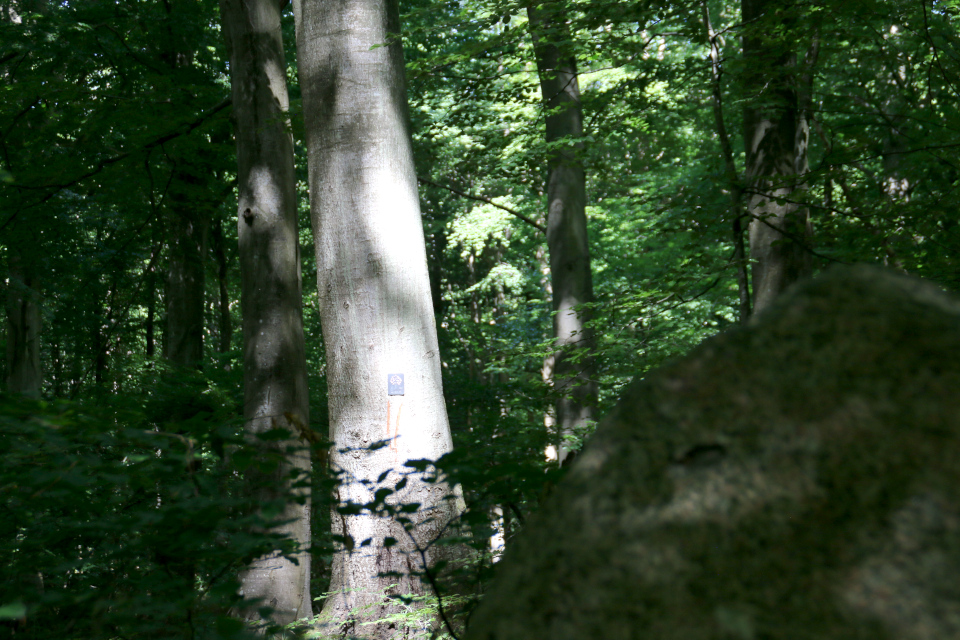 Дерево жизни - бук в лесу, где сохранились разрушенные мегалиты