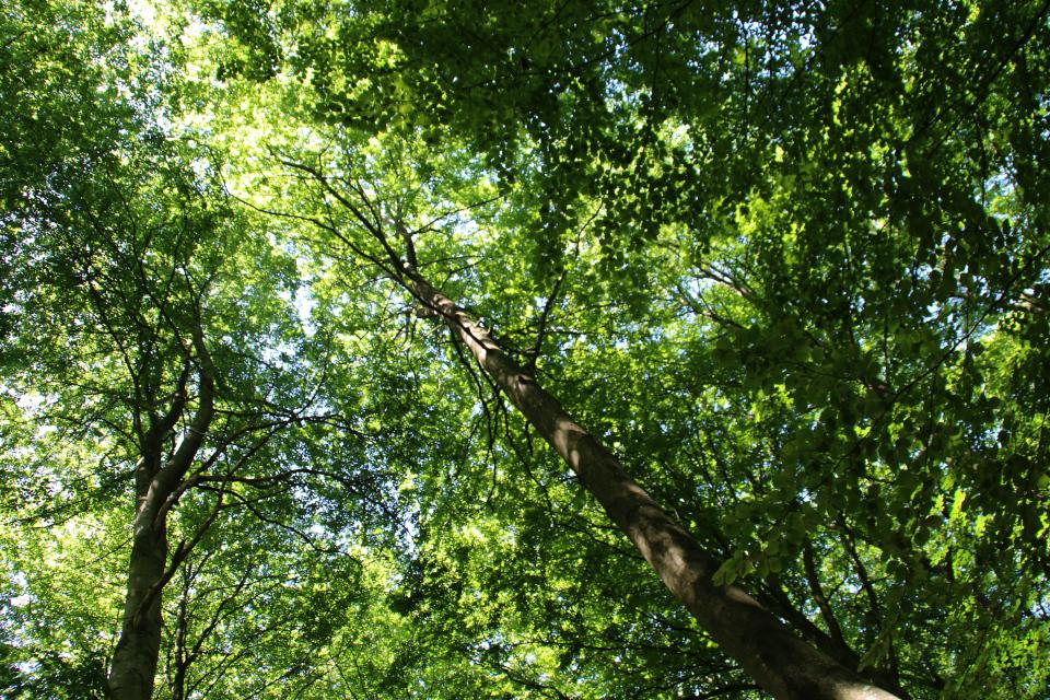 Буковые деревья образуют очень густую крону