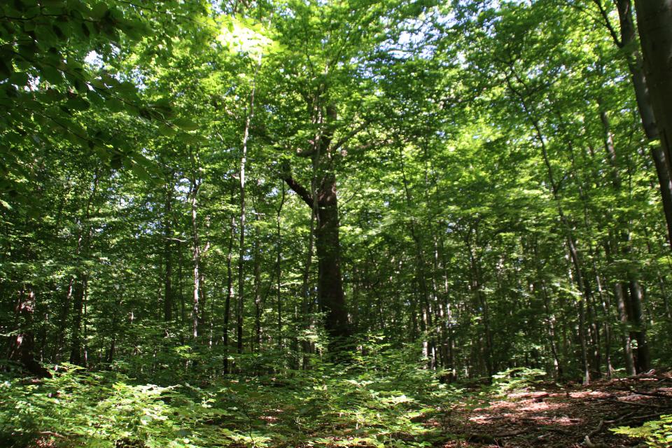 Дуб черешчатый (Quercus robur) - дерево жизни в буковом лесу Мосгорд
