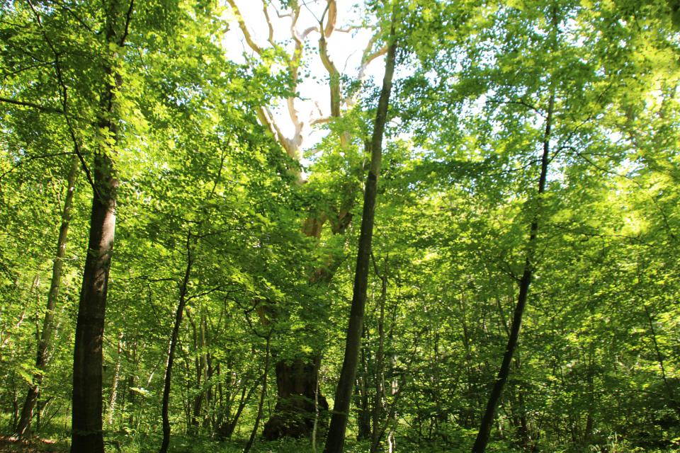Старый дуб в буковом лесу Мосгорд, г. Хойбьерг / Højbjerg, Дания