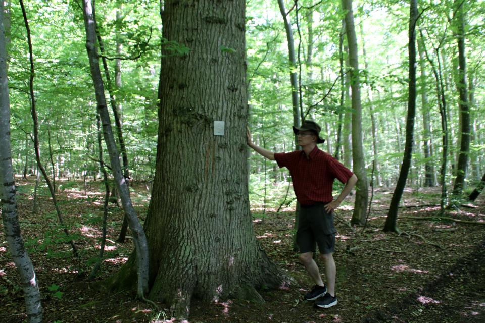 Старый дуб, который стал деревом жизни в буковом лесу лесу Мосгорд