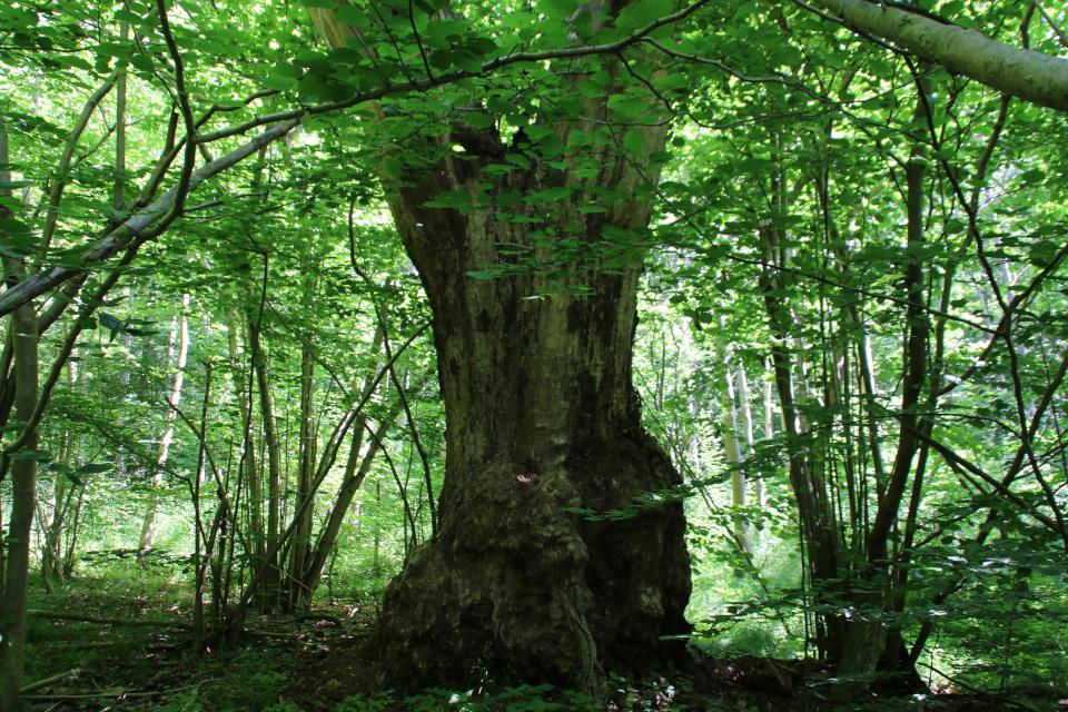 Мертвый ствол старого дуба, который порождает новую жизнь в экосистеме леса