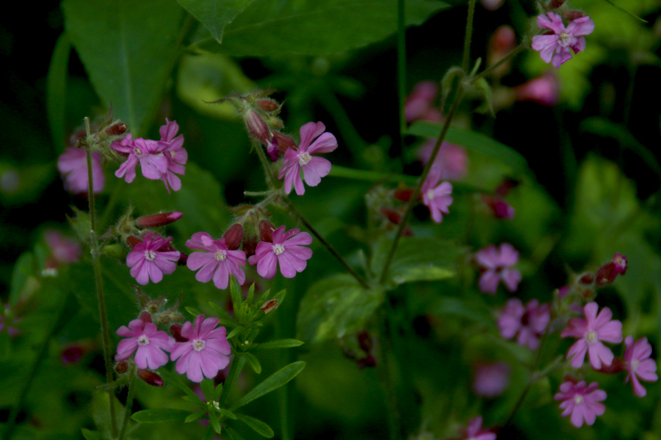 Цветы дрёмы двудомный (лат. silene dioica, дат. Dagpragtstjerne)