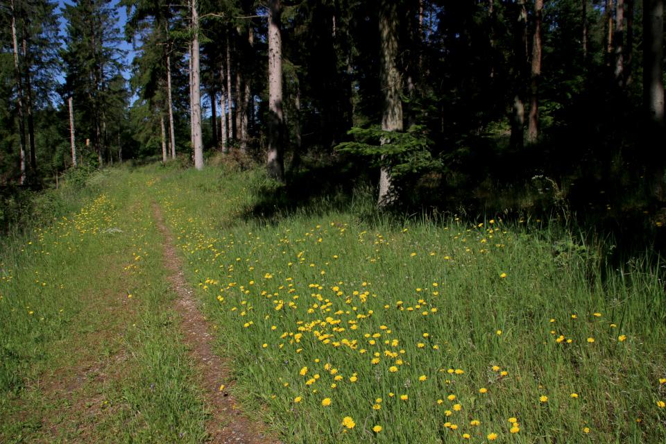 Кульбаба осенняя (лат. Leontodon autumnalis, дат. høstborst)