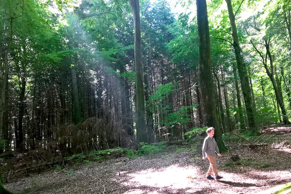 Еловый лес (слева), справа - буковый лес