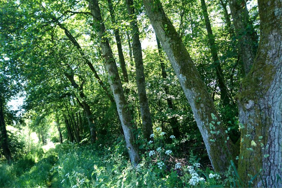 Ольха чёрная (лат. Аlnus glutinosa, дат. Rødel) и сныть (лат. Aegopodium podagraria)