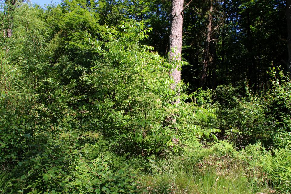 Американская вишня (лат. Prunus serotina, дат. glansbladet hæg)