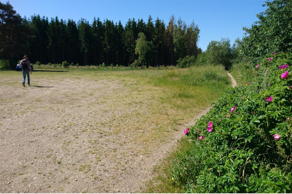 Парковка, по краю которой разрастается шиповник морщинистый (лат. Rosa rugosa