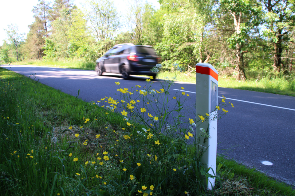 Лютик ползучий (лат. Ranunculus repens, дат. Lav ranunkel) возле дороги