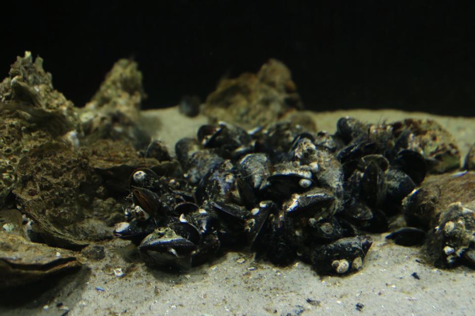 Съедобные мидии (лат. Mytilus edulis, дат. Blåmusling)