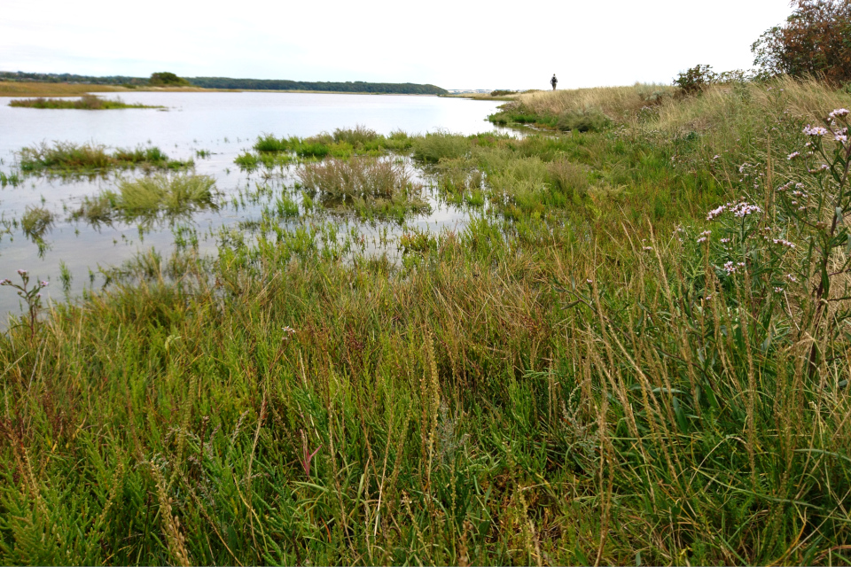Хвощ приречный (лат. Equisetum fluviatile, дат. Dyndpadderok)