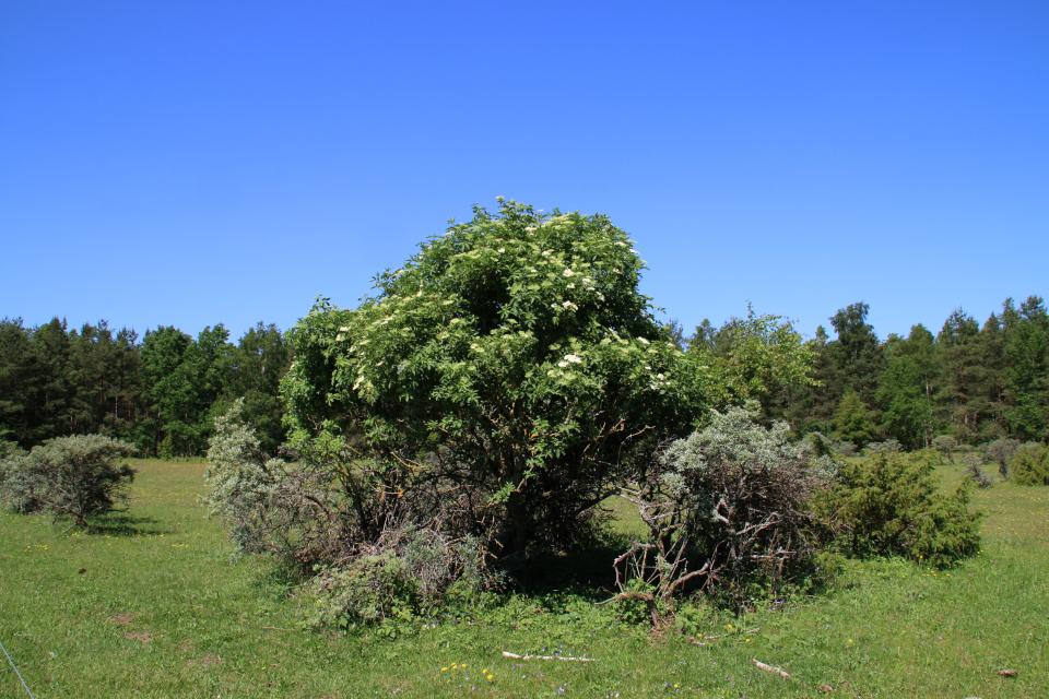 Бузина чёрная (лат. Sambucus nigra, дат. Almindelig hyld)