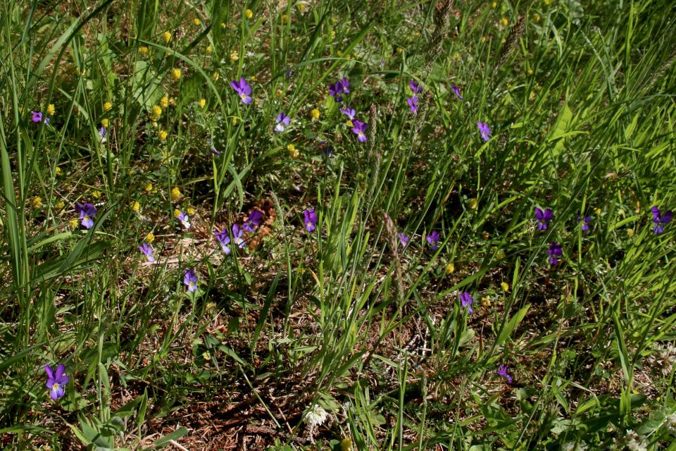 Фиалка трёхцветная (лат. Viola tricolor, дат. Almindelig stedmoderblomst)