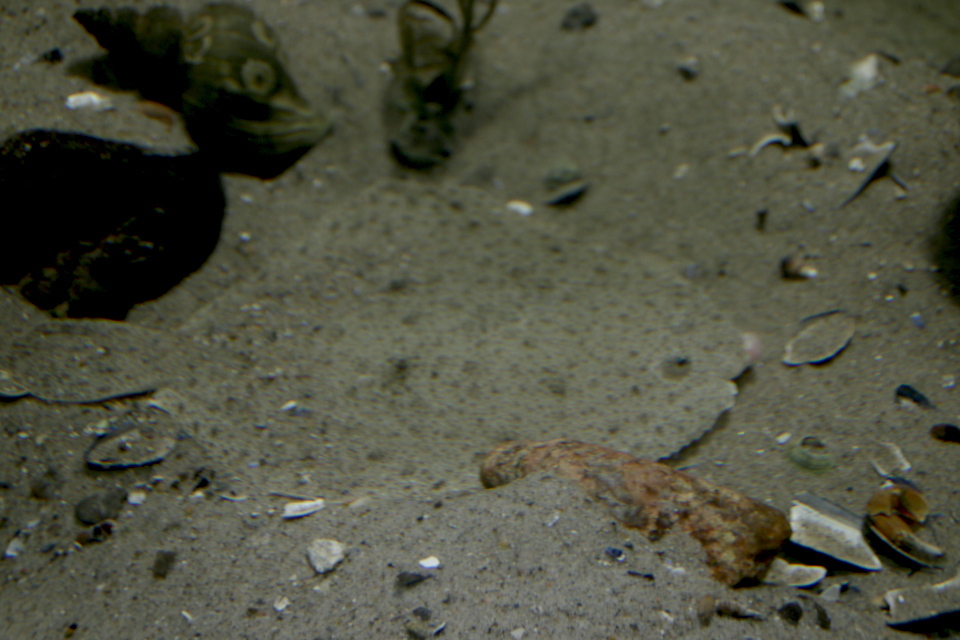 Плоская рыба Тюрбо (лат. Scophthalmus maximus, дат. Pighvar)