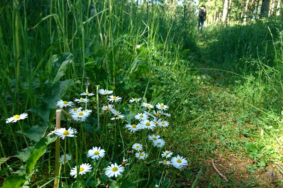 Маргаритки (лат. Bellis perennis, дат. tusindfryd) растут среди травы