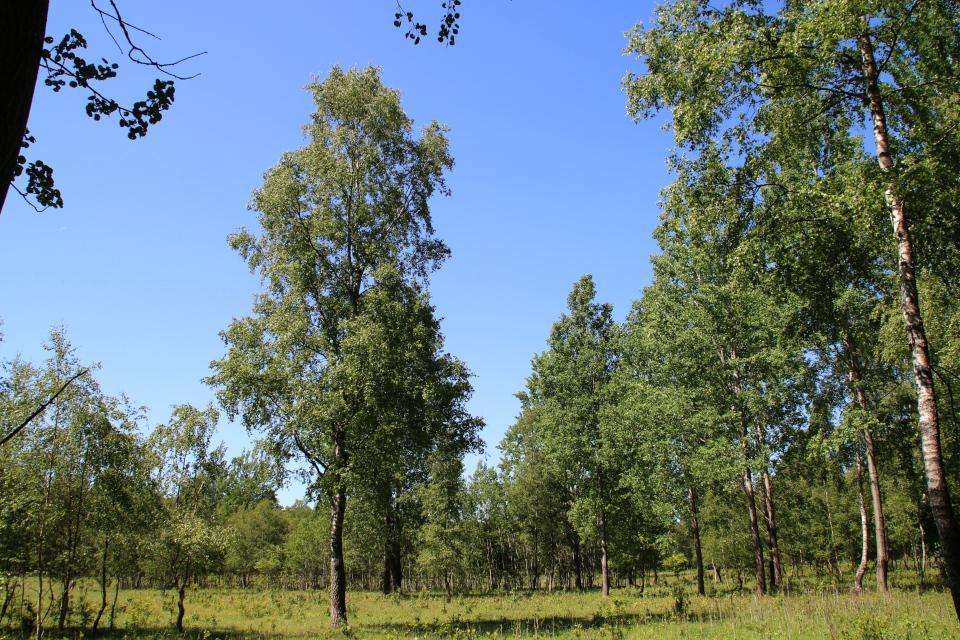 Осина обыкновенная (лат. Populus tremula, дат. Bævreasp)