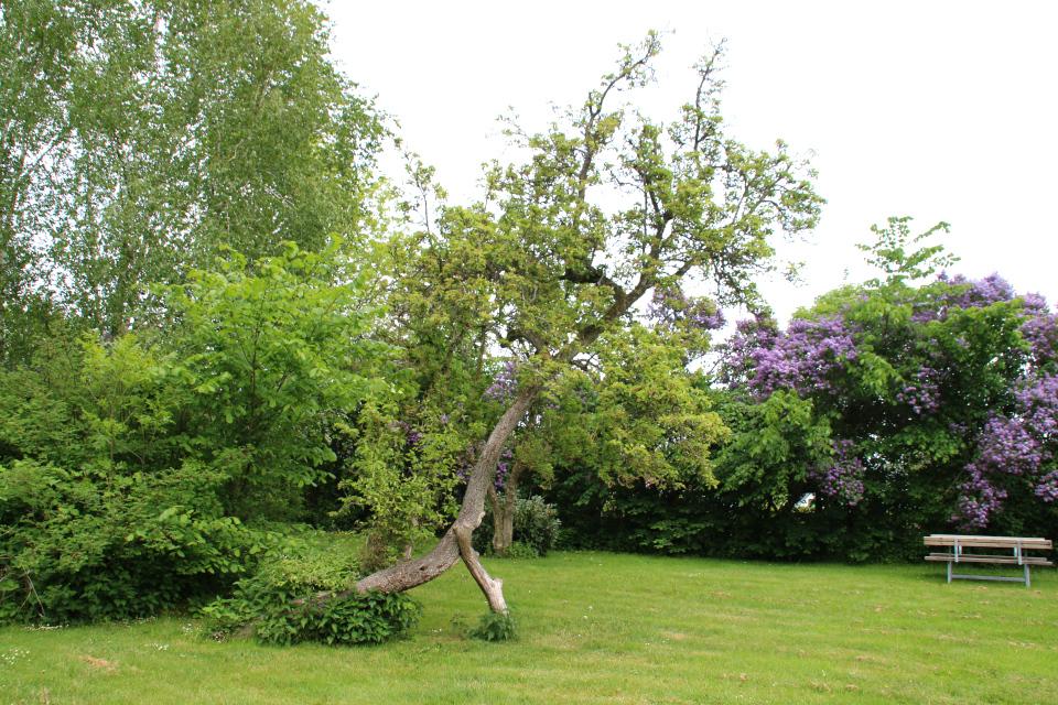 Старое дерево груши с подпоркой в саду возле парковки