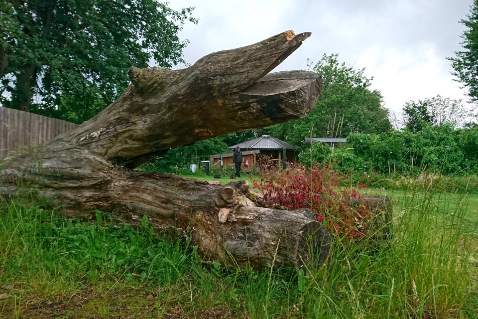 Ствол старого дерева превращен в клумбу для дикой герани