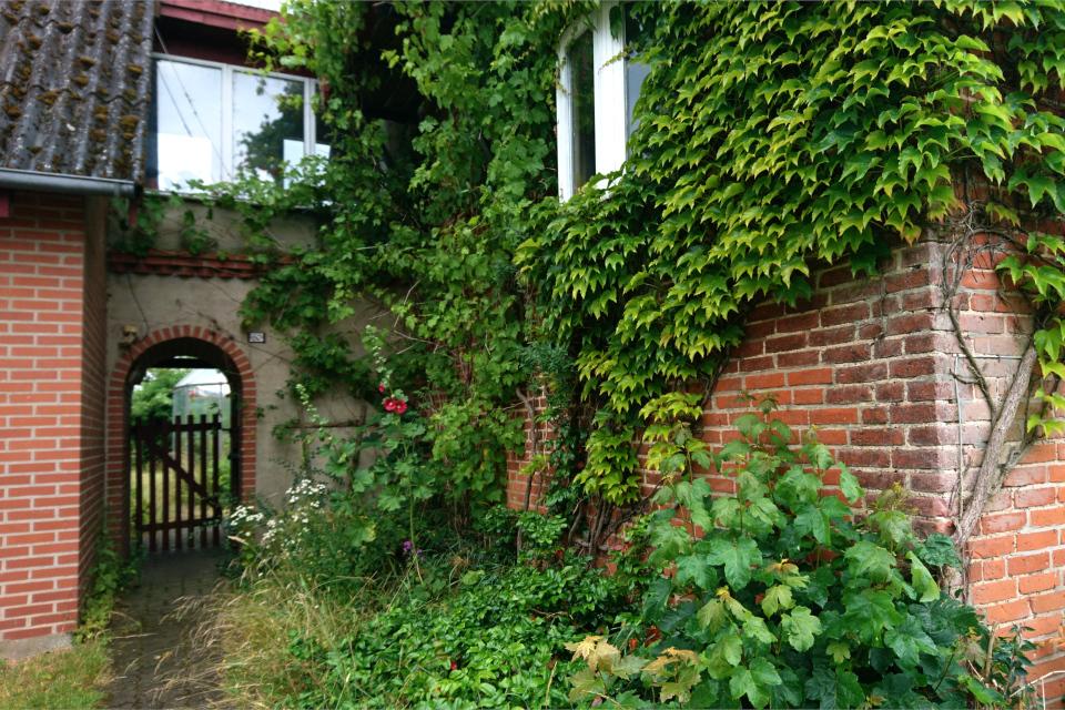 Стена дома, на которой растет Девичий виноград триостренный