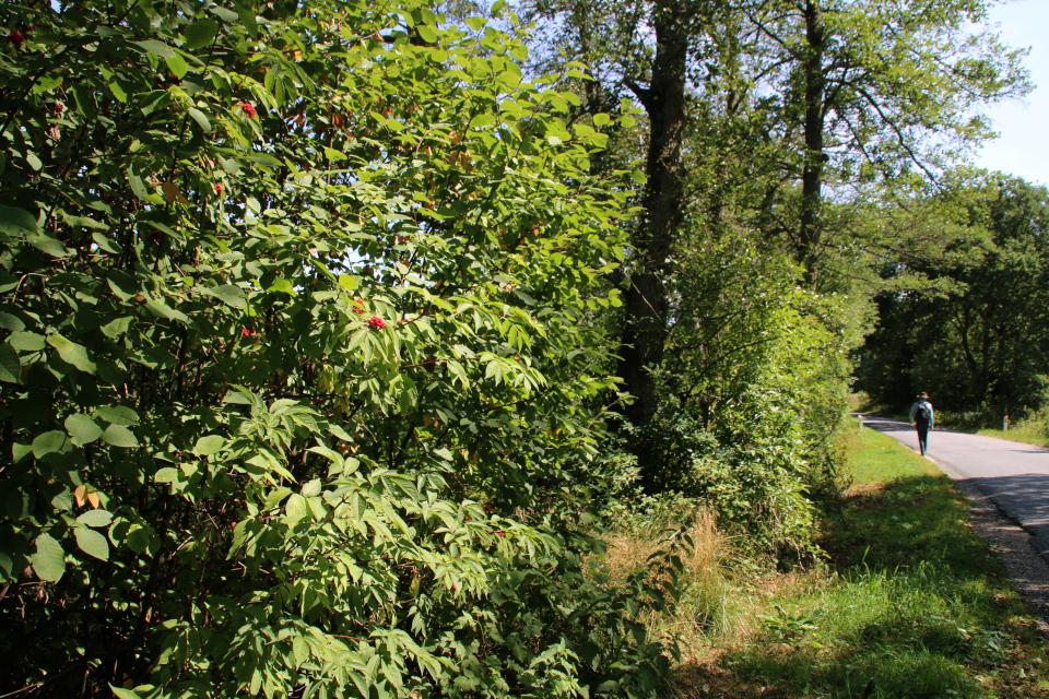 Бузина красная (лат. Sambucus racemosa, дат. Drue-hyld)