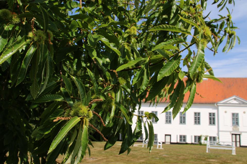 Каштан посевной (лат. Castanea sativa, дат. Ægte Kastanie) во дворе замка Фуссингё