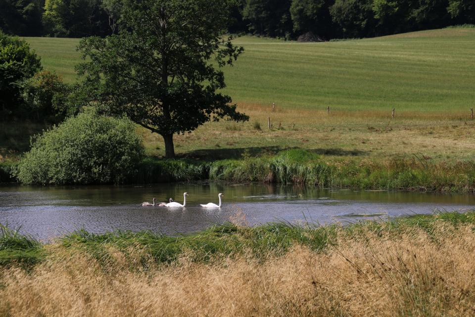 Лебединая пара с лебедятами на озере поместья Фуссингё