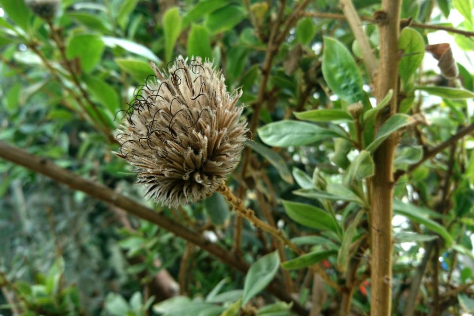Отцветающие цветки  Arnaldoa argentea