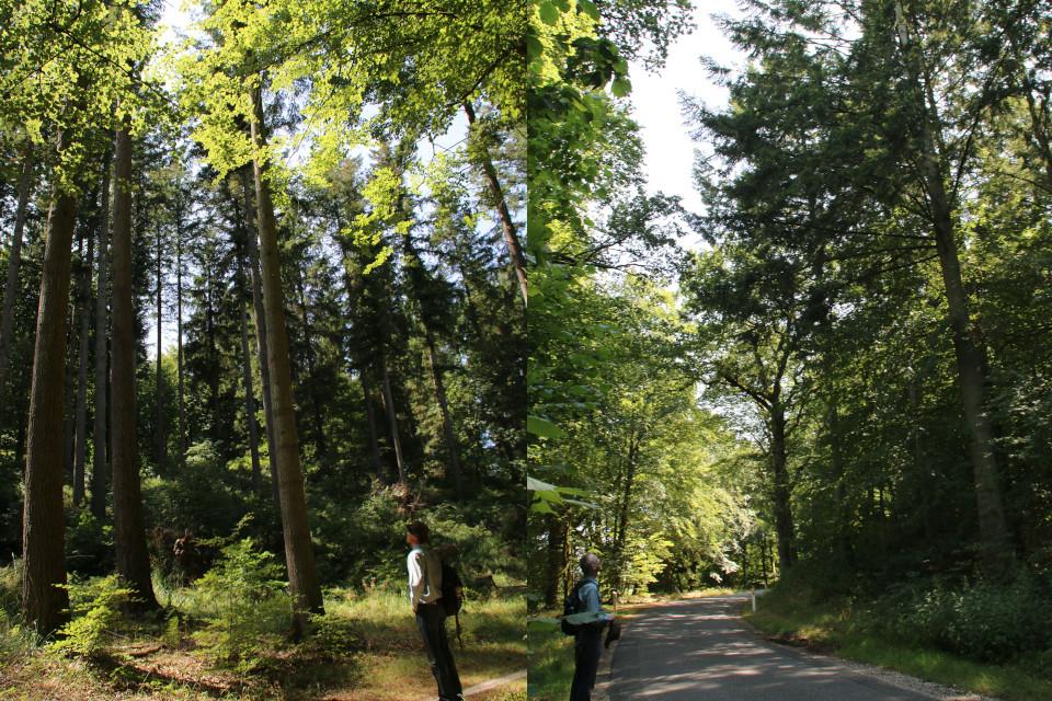Дугласовые пихты в лесу и возле дороги