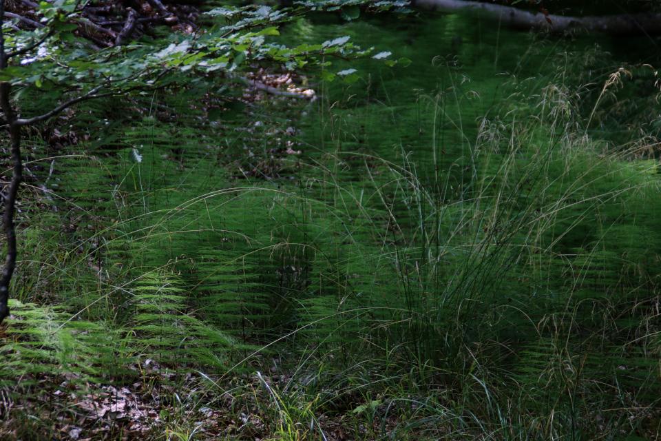 """""""Мини- ёлочки"""" - хвощ (лат. Equisetum, дат. Padderok)"""