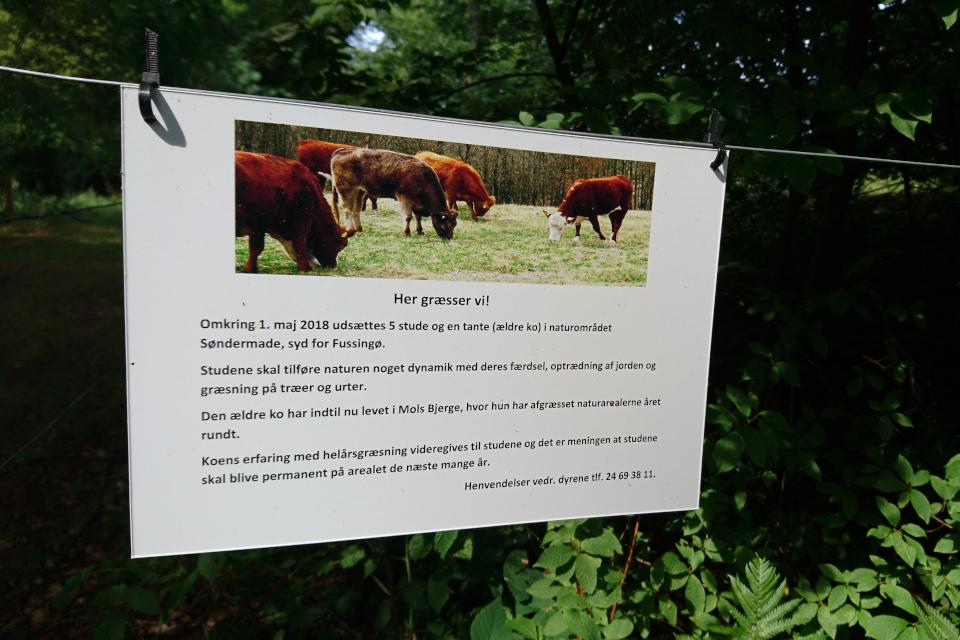 эта часть леса поддерживается от зарастания благодаря коровам