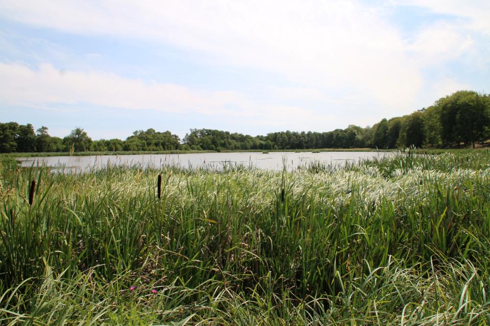 Озеро зарастает рогозом (лат. Typha, дат. Dunhammer)
