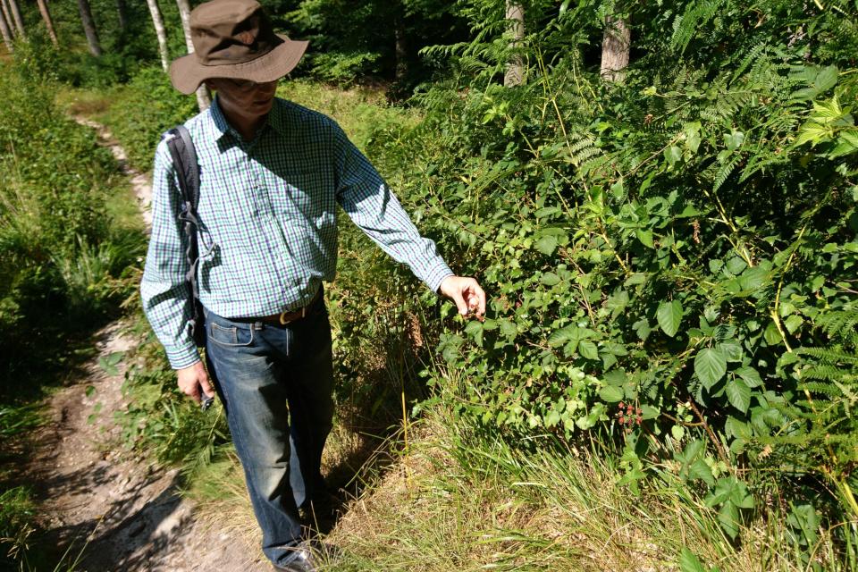 Ежевика (лат. Rubus plicatus, дат. Brombær) со спелыми ягодами