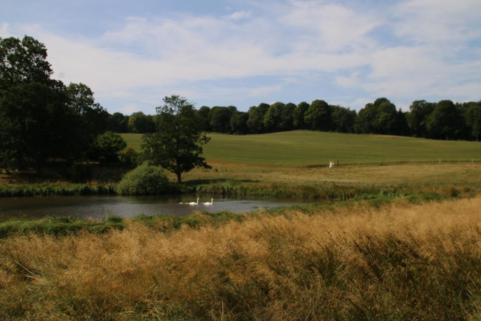 Лебеди (лат. Cygnus olor, дат. knopsvanen) на озере возле старого поместья