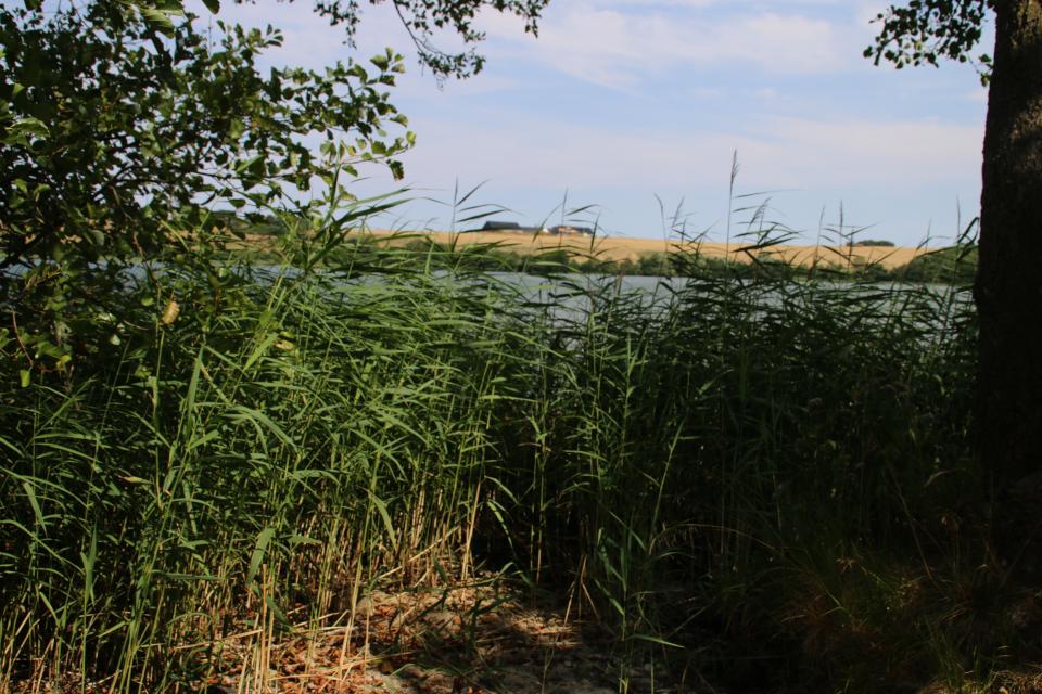 Берег озера Фуссинг зарастает тростником и ольхой