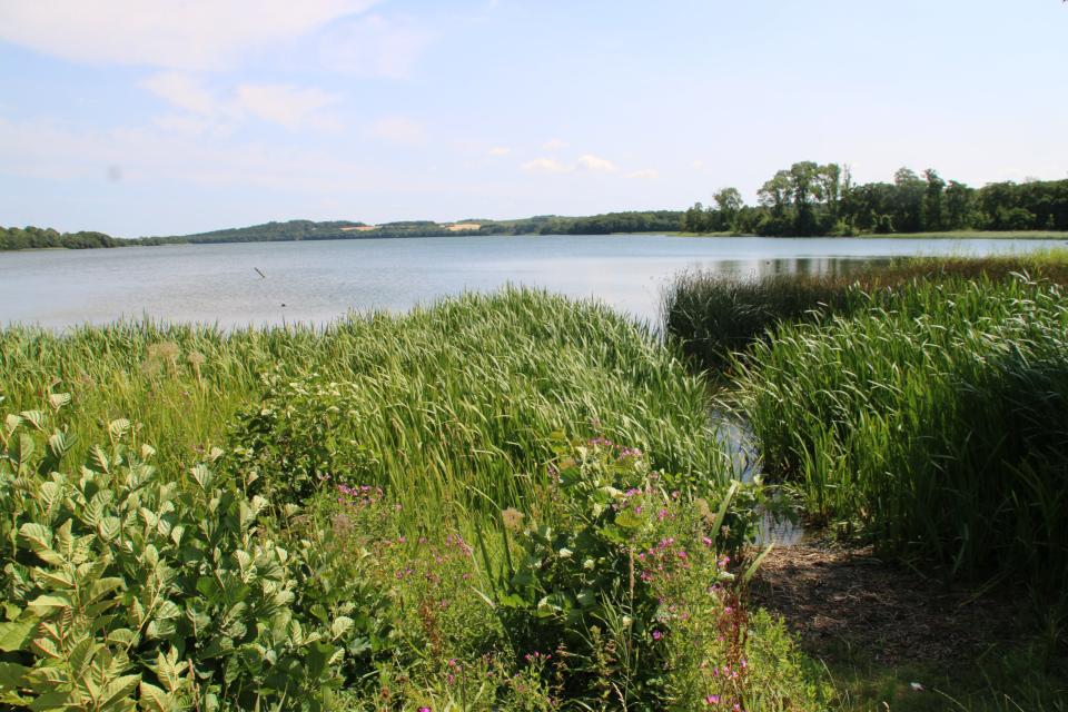 Возле озера, заросшим тростником, цветет кипрей волосистый