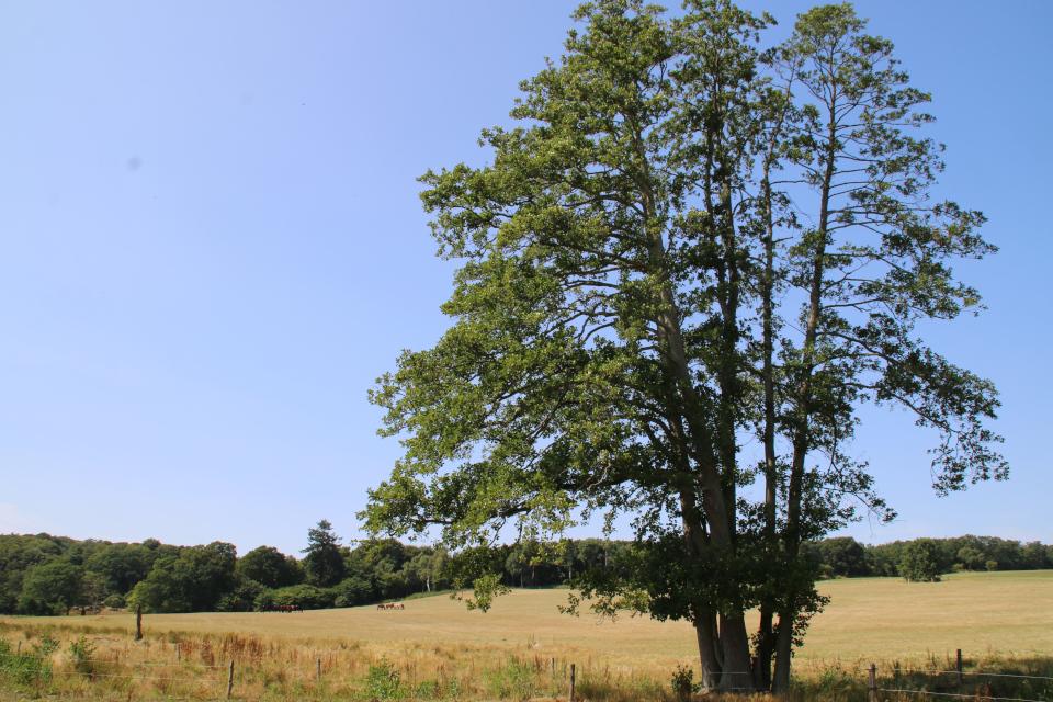 Ольха (лат. Alnus, дат. El) растет возле ручья