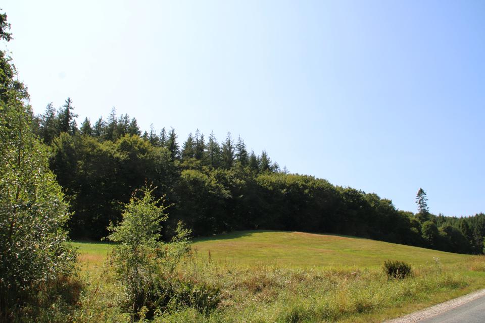 буковый лес, посреди которого растут высокие пихты Дугласа