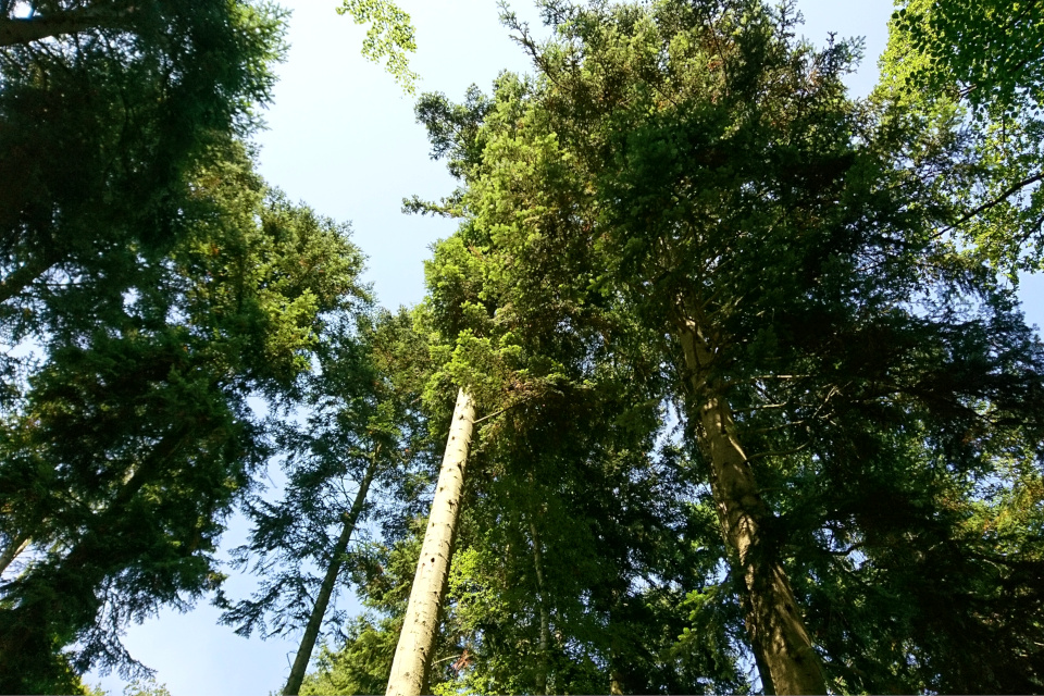 Пихты Дугласа в лесу. Фото 20 июл. 2018, г. Рандерс / Randers, Дания