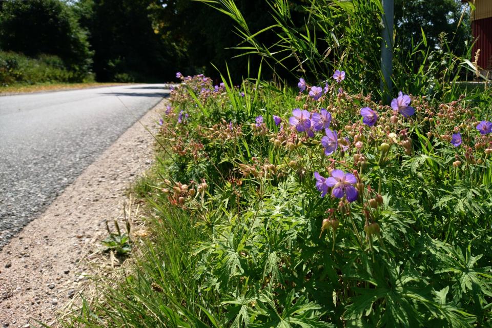 Герань возле дороги. Фото 20 июл. 2018, г. Рандерс / Randers, Дания