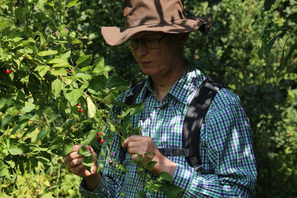 Паслён сладко-горький (лат. Solanum dulcamara, дат. Bittersød natskygge)