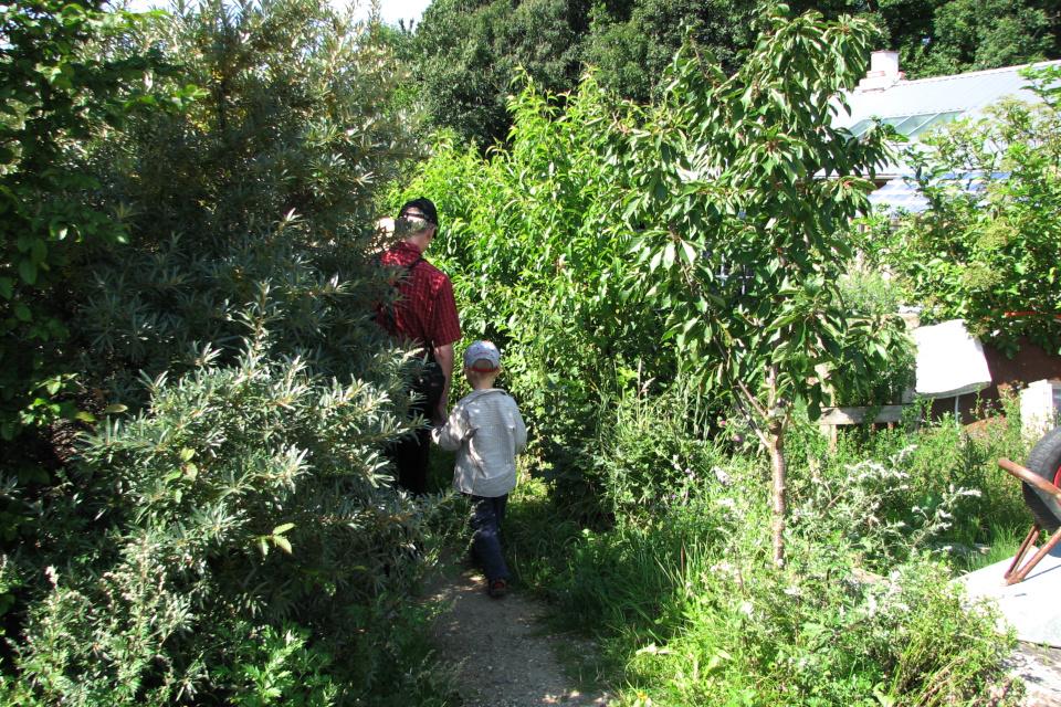 Облепиха и другие ягодные кусты растут вдоль тропинок между домами