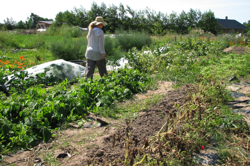 Общие огороды с картофелем и кустовой фасолью