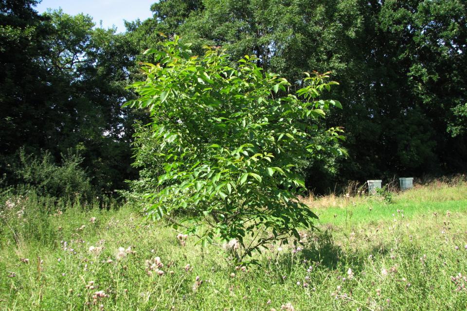 Пасека с ульями и дерево грецкий орех