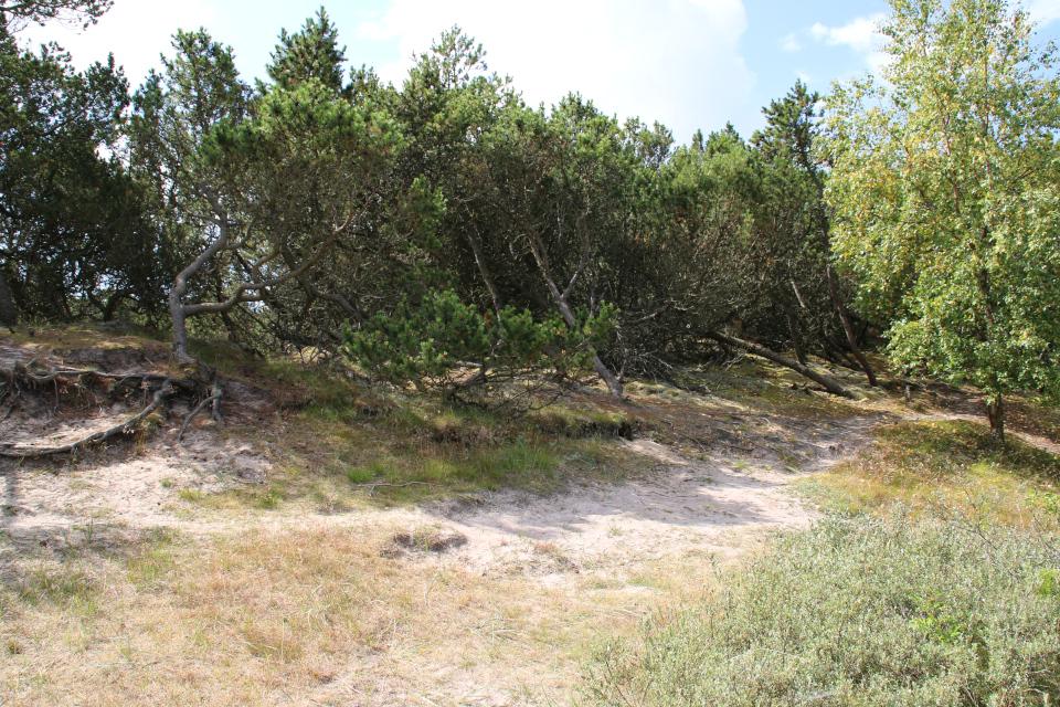 Сосна горная (лат. Pinus mugo, дат. Bjergfyr) и осина (лат. Populus tremula)
