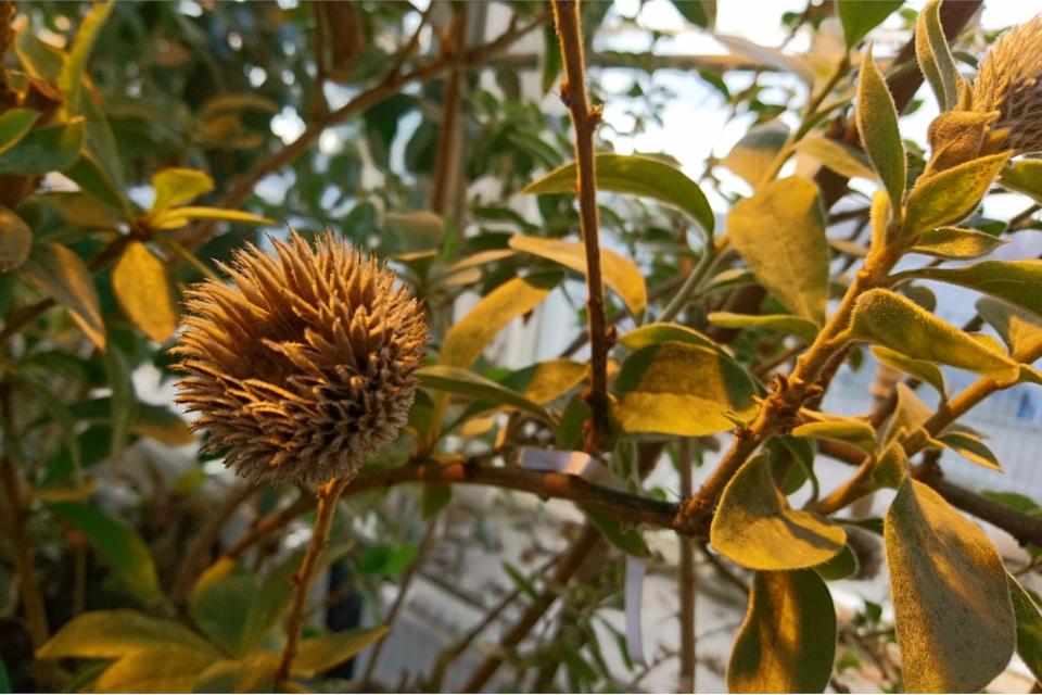 Отцветшие соцветия Arnaldoa argentea, из которых вываливаются семена