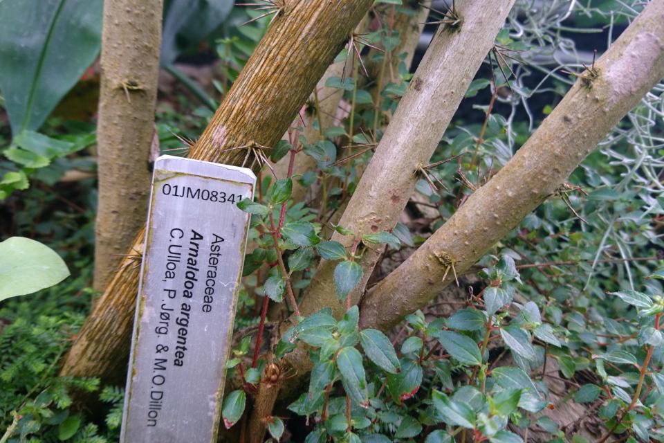Табличка с названием Arnaldoa argentea и именами датских ботаников